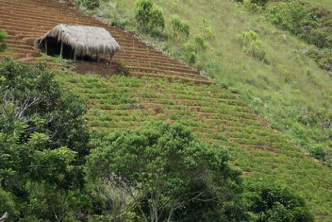 coca-cultivo.jpg